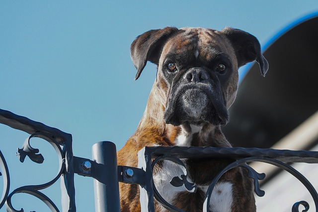 Image shows a boxer dog appearing over the top of a gate. Not coming in here if you want to talk football.